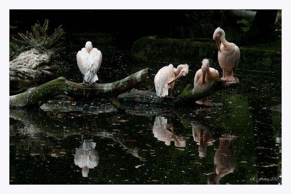 Pelikane (Art.-Nr. 2569)