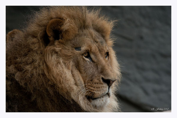 Löwe (Art.-Nr. 2460)