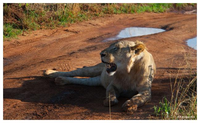 Junges Löwenmänchen im Tarangiere Nationalpark (4035)