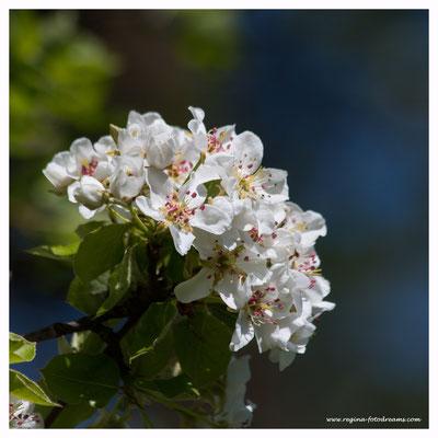 Apfelbaum (7742)