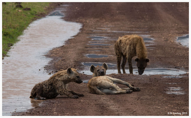 Hyänen im Ngorongoro-Krater, eine Art Wegelagerung (0053)