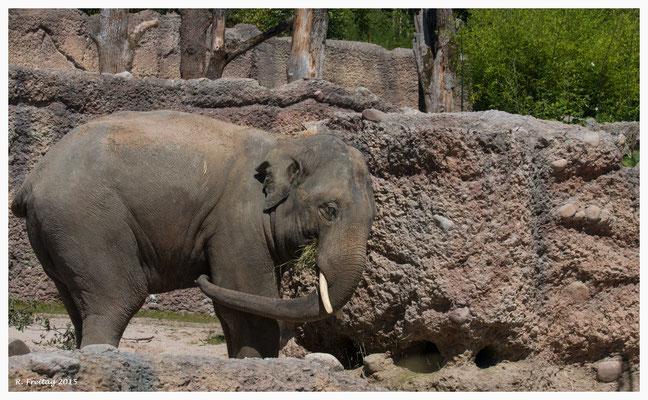 Thai - der zweite Elefantenbulle im Zoo Zürich (9236)