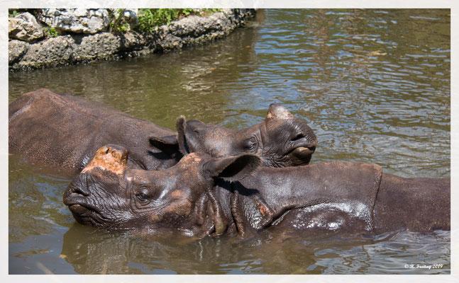 Panzernashörner Zoo Basel