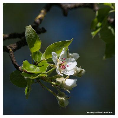 Apfelbaum (7748)