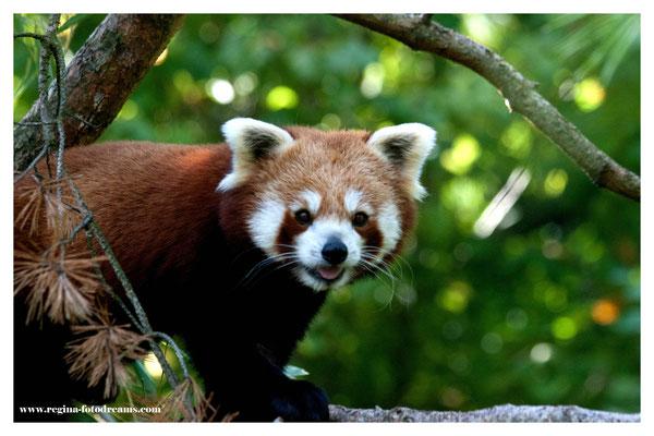 Roter Panda (2286)