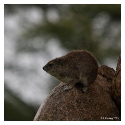 Klippschliefer in der Serengeti (2878)
