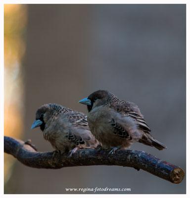 Webervögel (aus Namibia) 8425