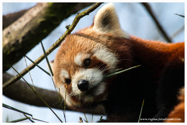 Roter Panda (719)
