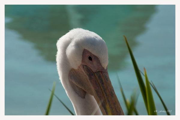 Pelikan (Art.-Nr. 4441)