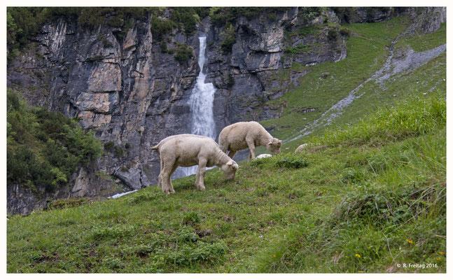 Schafe beim weiden (686)