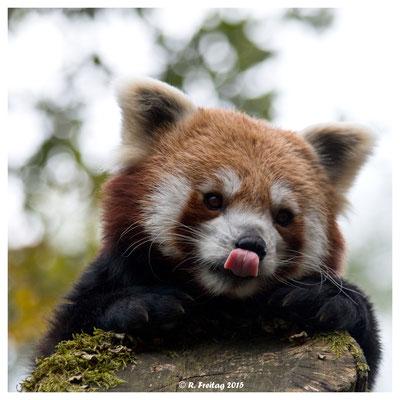 Roter Panda (5147)