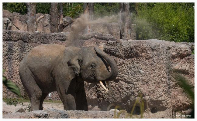 Thai - der zweite Elefantenbulle im Zoo Zürich (9215)