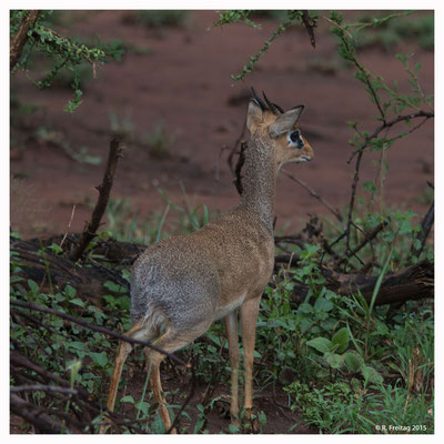 Dikdiks sind afrikanische Zwergantilopen, nur wenig grösser als Hasen.