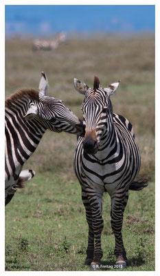 Zebras 9223