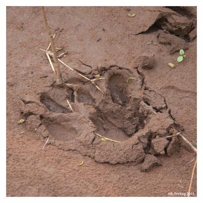 Pfotenabdruck eines Löwens im nassen Lehm (3549)
