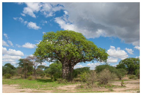Tarangire Nationalpark (3935)