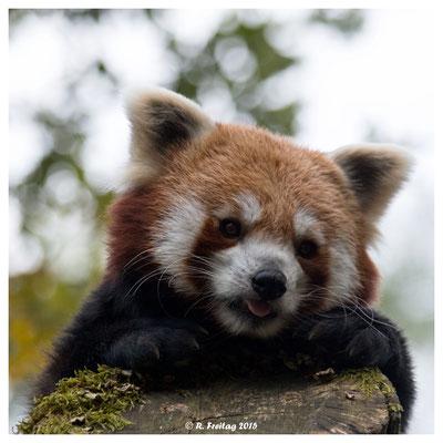 Roter Panda (5149)