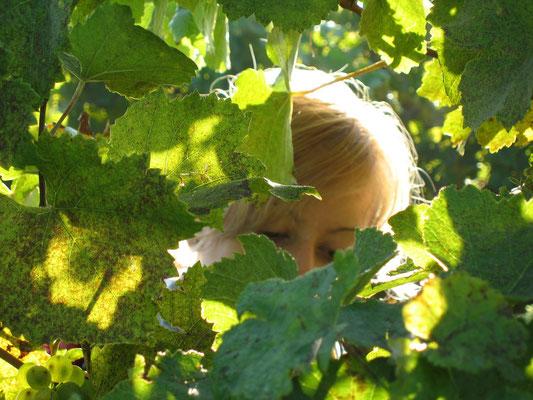 Claudia Zillinger bei der Ernteselektion im Weingarten.