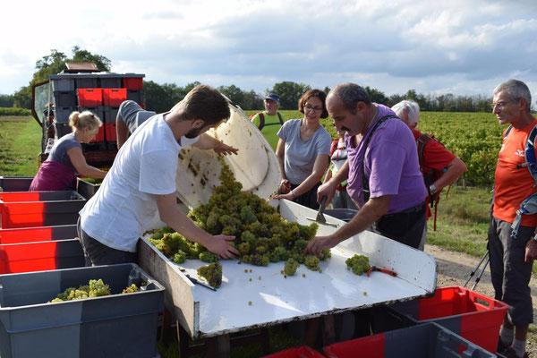 vendanges-manuelles-tri-sur-table-vins-de-Vouvray-Chançay-Vallee-de-la-Loire-Vignoble-Alain-Robert-Rendez-Vous-dans-les-Vignes-Chenin-Blanc