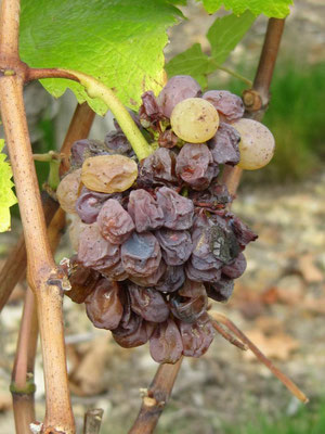 raisins-chenin-blanc-passerillage-pourriture-noble-botrytis