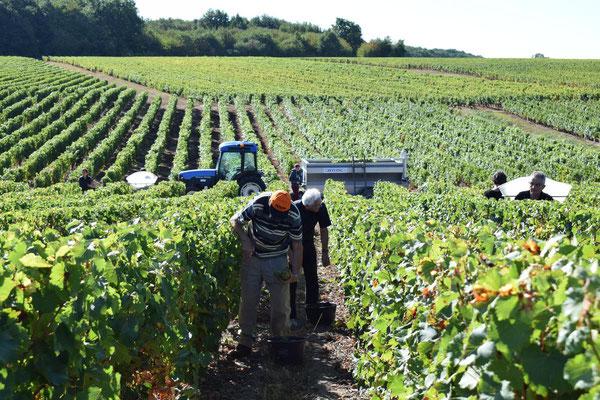 decouverte-atelier-vendanges-manuelles-vignoble-Vouvray-Val-de-Loire