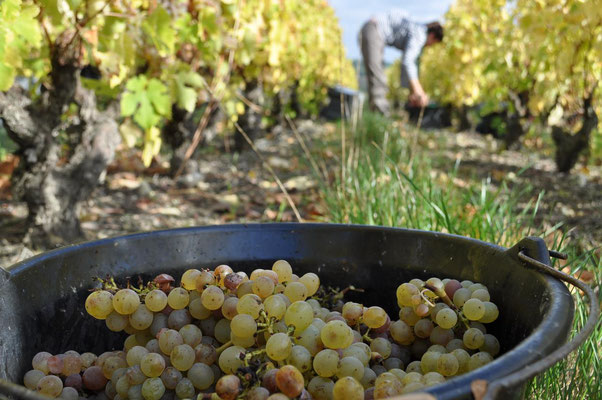 vendanges-a-la-main-vins-de-Vouvray-Chançay-Vallee-Loire-Vignoble-Alain-Robert-Rendez-Vous-dans-les-Vignes-Chenin-Blanc