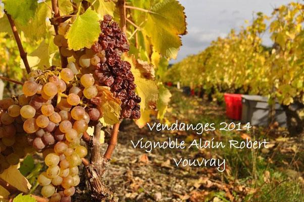 vendanges-a-la-main-vins-Vouvray-Chançay-Vallee-Loire-Vignoble-Alain-Robert-Rendez-Vous-dans-les-Vignes-Chenin-Blanc