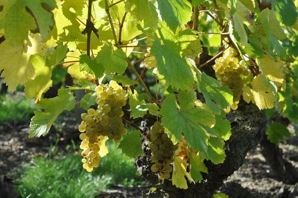 decouverte-vignoble-vendanges-raisins-enfants-classes-maternelle-primaire-Touraine-Vallee-Loire-Vouvray-Tours-Amboise-Rendez-Vous-dans-les-Vignes