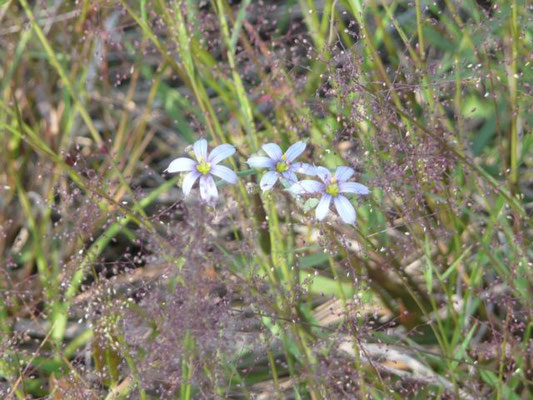 Blue-eyed grass--Sisyrinchium angustifolium