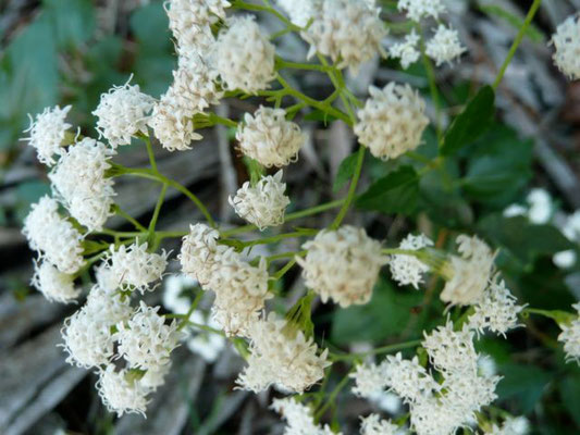 Redroot-Ceanothus microphyllus