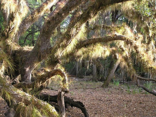 Wild Pine-Tillandsia setacea