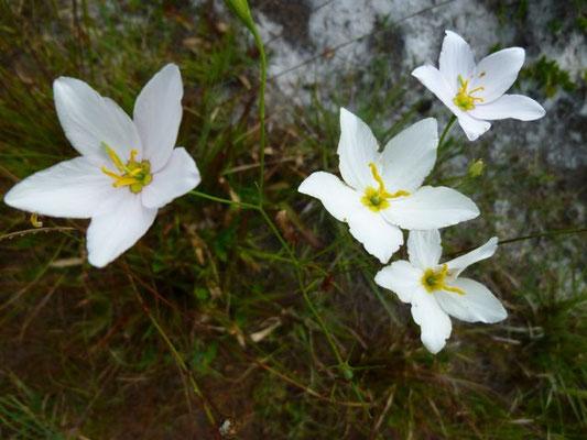 Sabatia spp.
