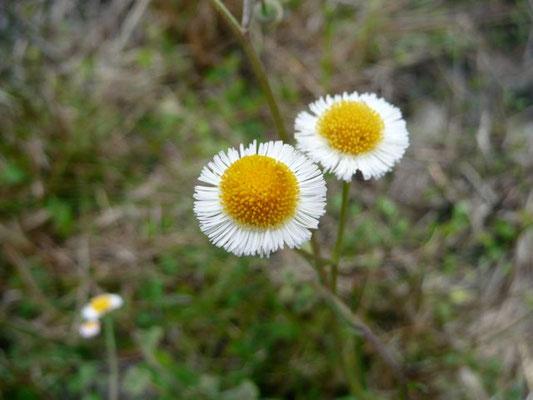 Fleabane, Oakleaf--Erigeron quercifolius
