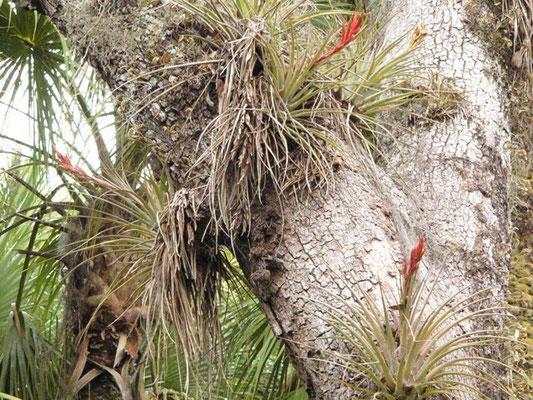 Tillandsia, Cardinal Airplant-Tillandsia fasciculata