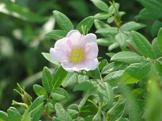 Swamp Rose-Rosa palustris