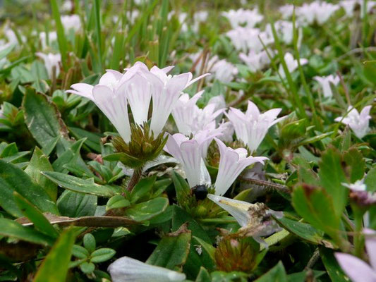 Mexican clover--Richardia grandiflora