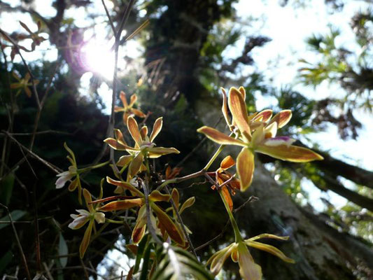 Butterfly Orchid--Encyclia tampensis