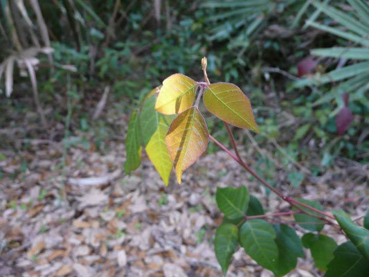 Poison Ivy--Toxicodendron radicans