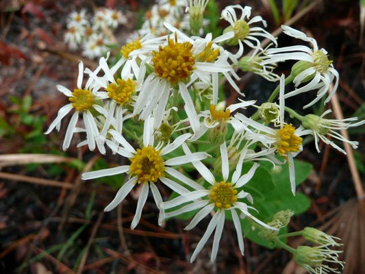 Aster, White-topped--Oclema reticulata