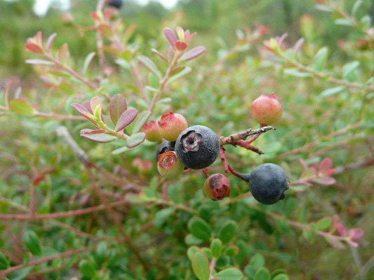 Shiny Blueberry-Vaccinium myrsinites