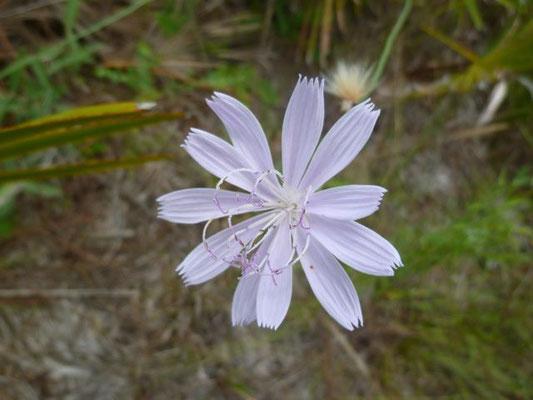 Rose-Rush - Lygodesmia aphylla