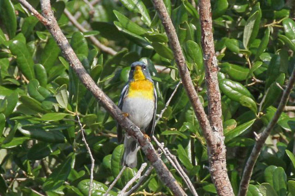 Northern parula. Copyright 2012 William E. Heyd.  All rights reserved.