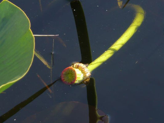 Spatter-dock, Cowlily--Nuphar luteum
