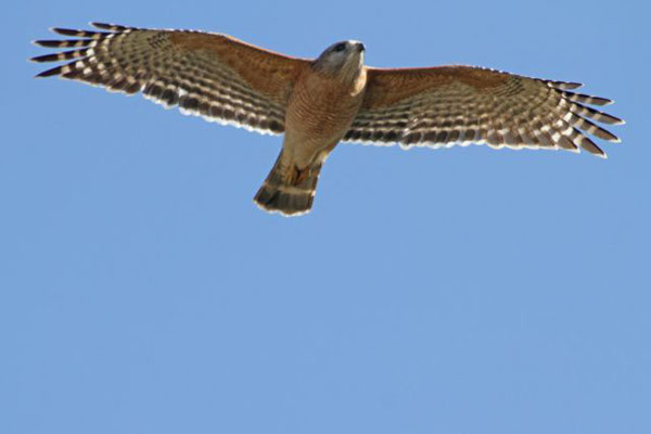 Red-shouldered hawk. Copyright 2012 William E. Heyd.  All rights reserved.