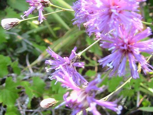Ironweed--Vernonia gigantea