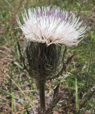 Thistle, Purple-Cirsium horridulum