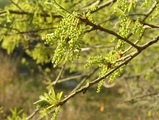 Pop Ash--Fraxinus caoliniana