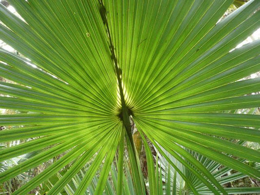 Sabal Palm--Sabal palmetto