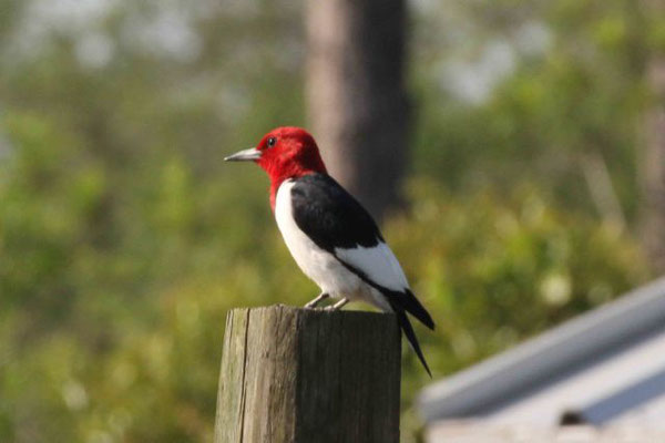 Red-headed Woodpecker. Copyright 2011 William E. Heyd.  All rights reserved.