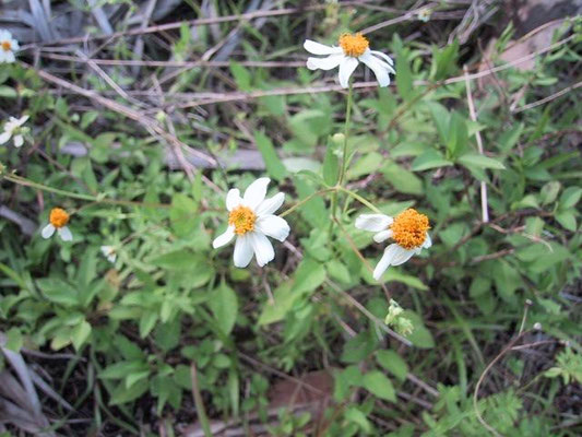 Spanish Needles, Bidens alba